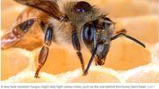 Varroa destructor – a deadly honey bee parasite