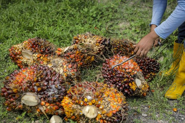 Prisoners and recovering addicts sought for palm sector amid virus-led labor crunch featured image
