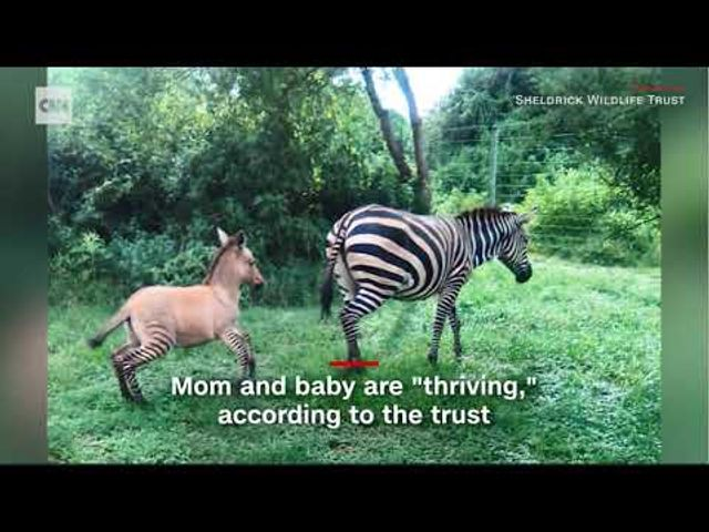 Check out the Zonkey (and other hybrid animals & creatures) featured image