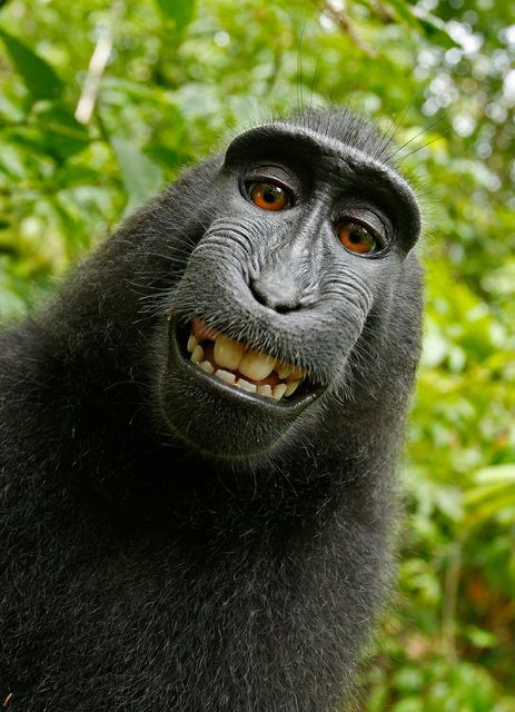Final chapter in the monkey selfie saga featured image