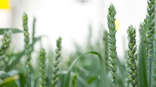 A new growth area for GM crops? featured image