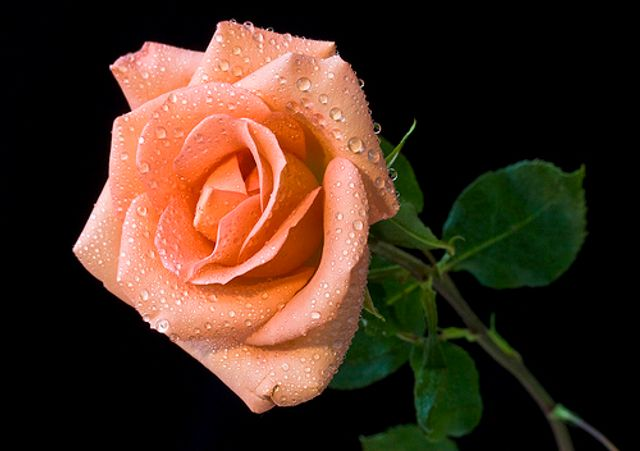 A GM rose by any other name would smell as sweet (and won't wilt) featured image