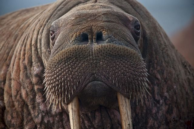 The Ill-Informed Walrus featured image