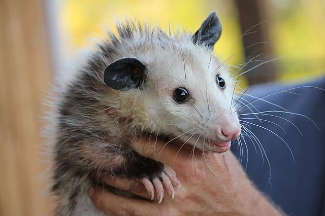 A Passel of Possums featured image
