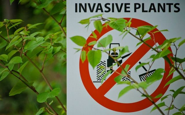Japanese knotweed wrongly wiping value off homes because mortgage lenders rely on 'flawed science' featured image