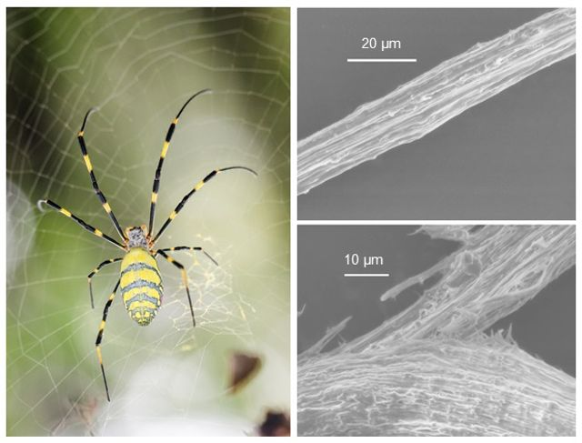 Bacteria engineered to produce spider silk featured image