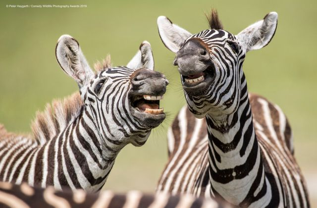 The funny side of wildlife, presented at the Comedy Wildlife Photography Awards featured image