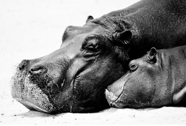 No hippos? featured image