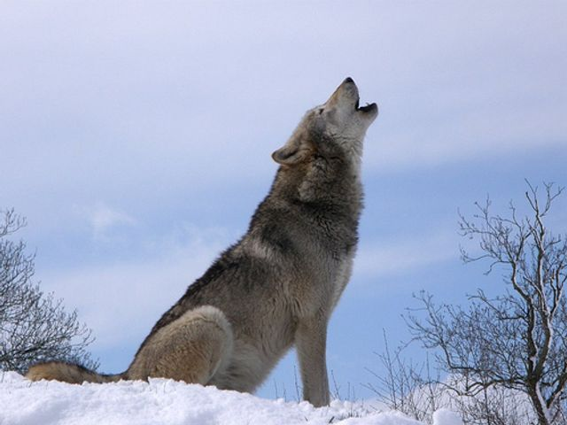 Cry Wolf! featured image