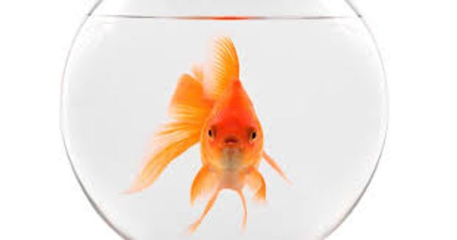 Marketing to goldfish featured image