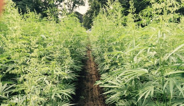 Soon Hemp May Be A Tradable Commodity With Startup Seed CX featured image