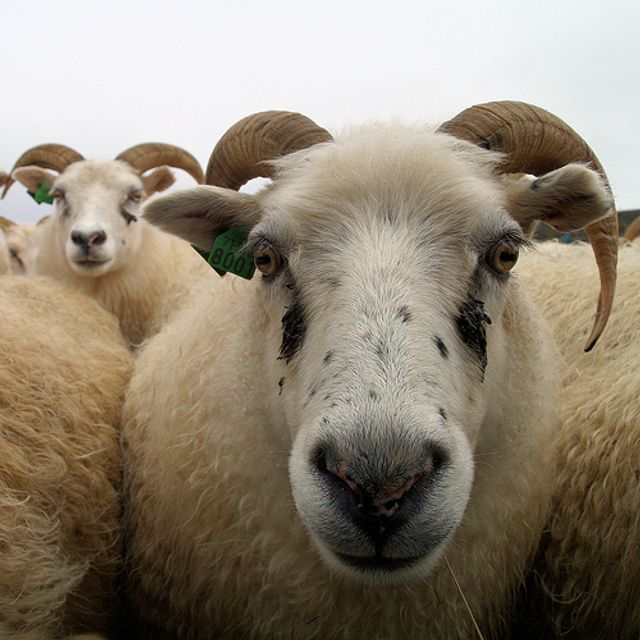 Mobile money shakes up sheep trade in Senegal's Muslim feast featured image