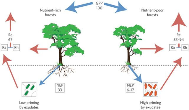 Nutrients control carbon sequestration in forests featured image