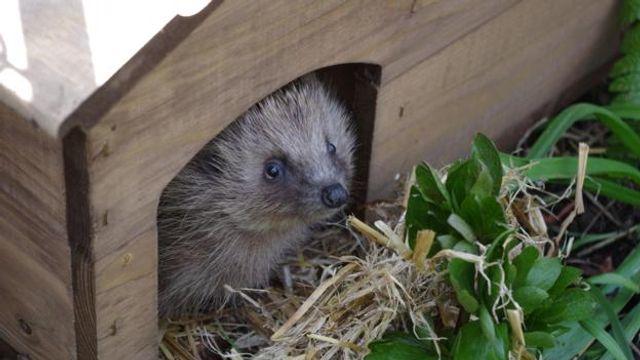 Let hedgehogs go Wild in your Garden featured image