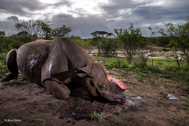 A photo of butchered rhino wins 2017 Wildlife Photographer of the Year featured image