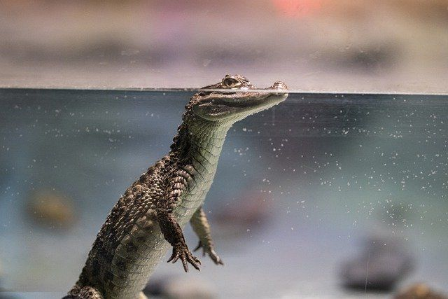 Croc Shock Means Hot Opp For Big Biz featured image