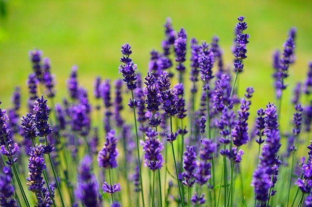 A Lavender By Any Other Name... featured image