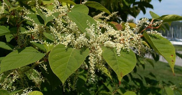 First step in the battle against Japanese Knotweed? featured image