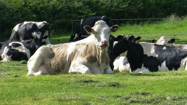 How a Gloucestershire herd makes MOPF of £1,656 a cow featured image