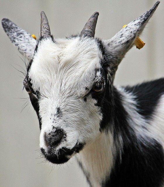 The G.O.A.T. Trademark Registration Stands, and the Goats With It featured image