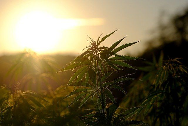 Experiment on therapeutic cannabis starting in France featured image