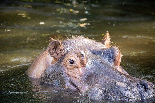 This Hungry Hippo Wants You Covered featured image