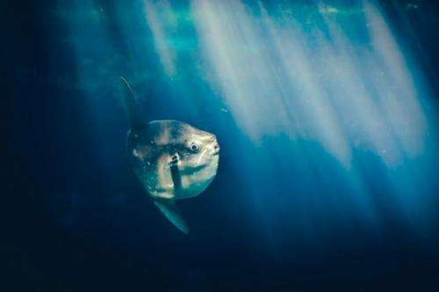 Ninety-five per cent of world's fish hide in mesopelagic zone featured image