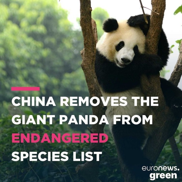 China removes giant pandas from its endangered list featured image