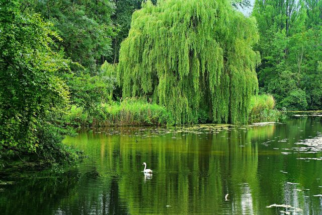 Waste Water Treated by Willow Trees? featured image