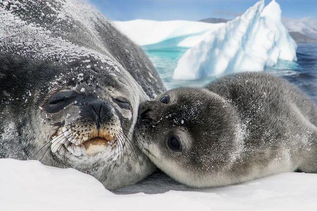 La crisis climática no afectará por igual a todas las focas featured image