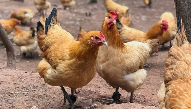 Insurtech giant ZhongAn plans to use facial recognition, blockchain to monitor chickens featured image