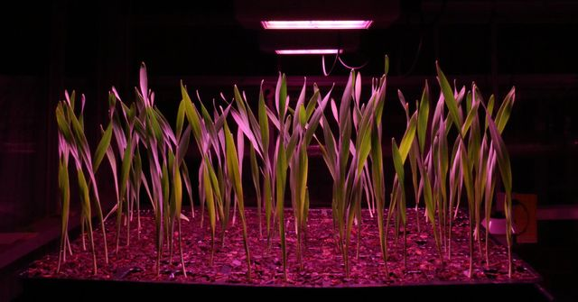 Grow Faster, Grow Stronger: Speed-Breeding Crops to Feed the Future featured image