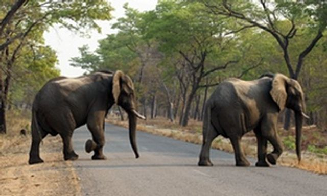 26 Elephants found dead in Zimbabwe National Park featured image