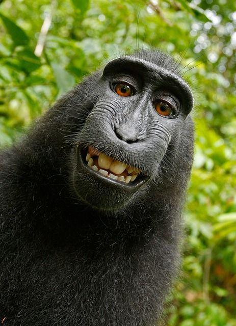 Monkey See Monkey Sue: 9th Circuit Says No featured image